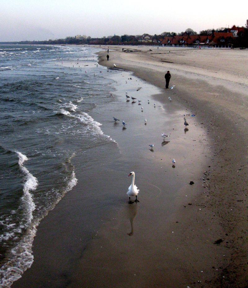 Swans on beach
